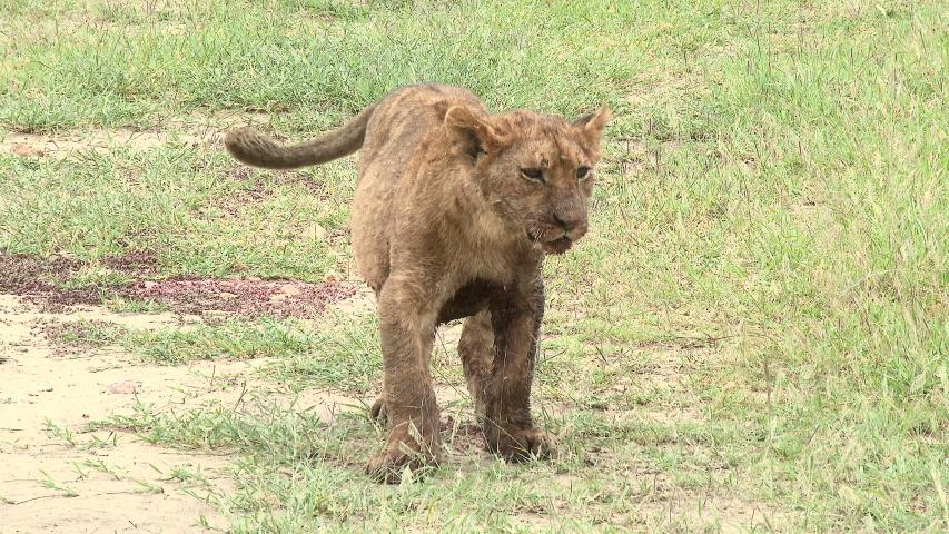 Lion (Panthera leo) cub walking towards camera with full belly because he ate to much, Maasai Mara, Kenya. #1029496346