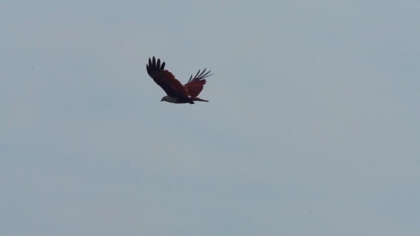 Brahminy kite (Haliastur indus) flying  #1029521501