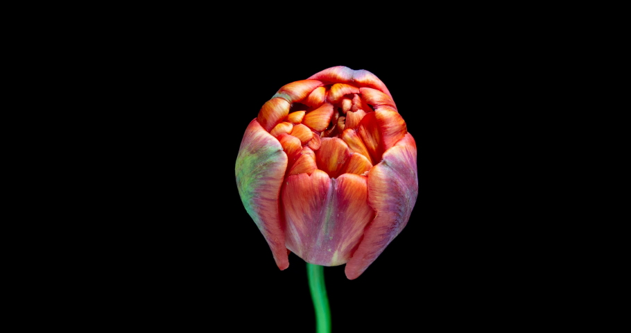 Timelapse of red tulip flower blooming on black background, | Shutterstock HD Video #1029537725