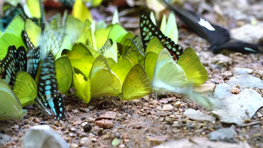 Beautiful butterfly eating mineral on ground at Kaeng Krachan National Park, Petchaburi province, Thailand. (selective focus)  | Shutterstock HD Video #1029588818