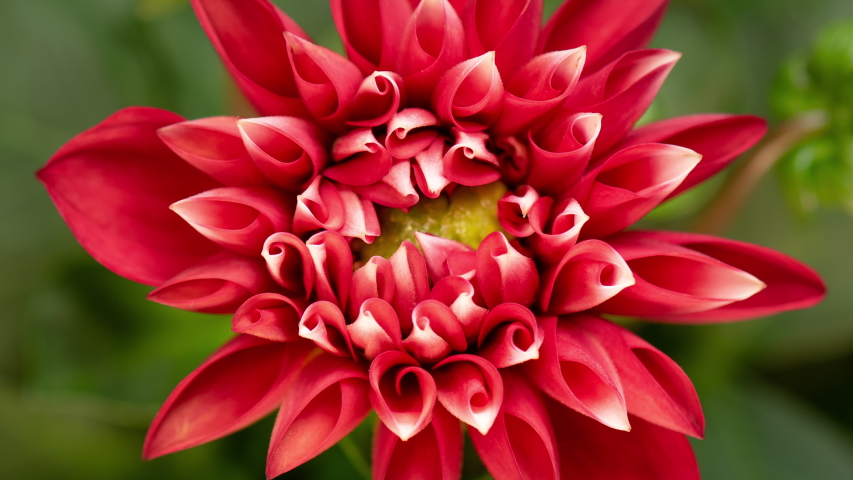4K Time lapse of blooming Red Flower. Beautiful Dalia opening up. Timelapse of growing blossom big flower on green leaves background. Top view. | Shutterstock HD Video #1029597632