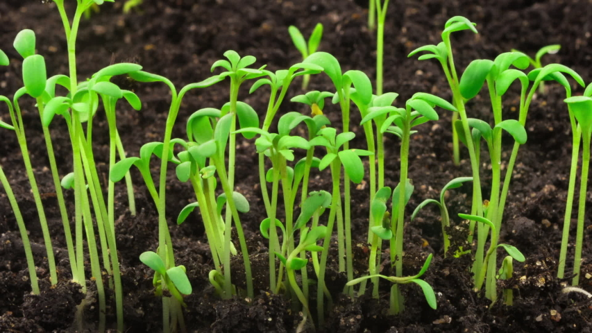 Growing plants in timelapse, sprouts germination newborn cress salad plant in greenhouse agriculture #1029618410