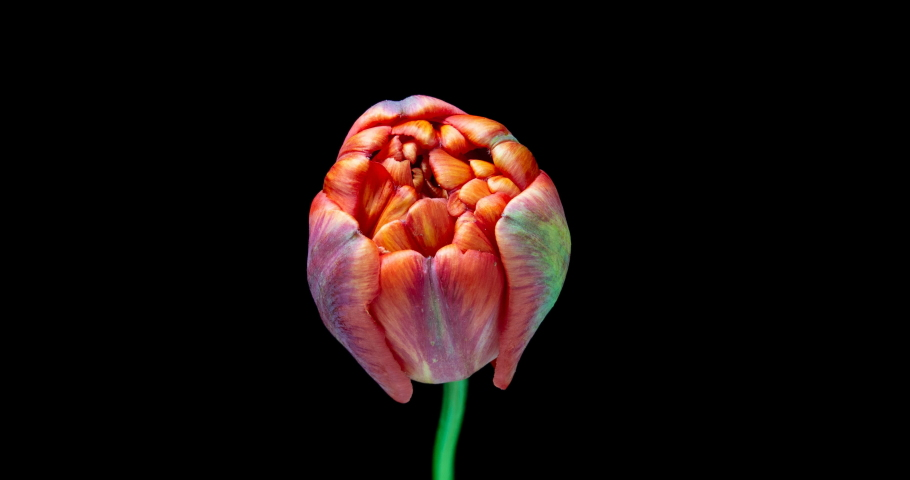 Timelapse of red tulip flower blooming on black background, 4K | Shutterstock HD Video #1029637022