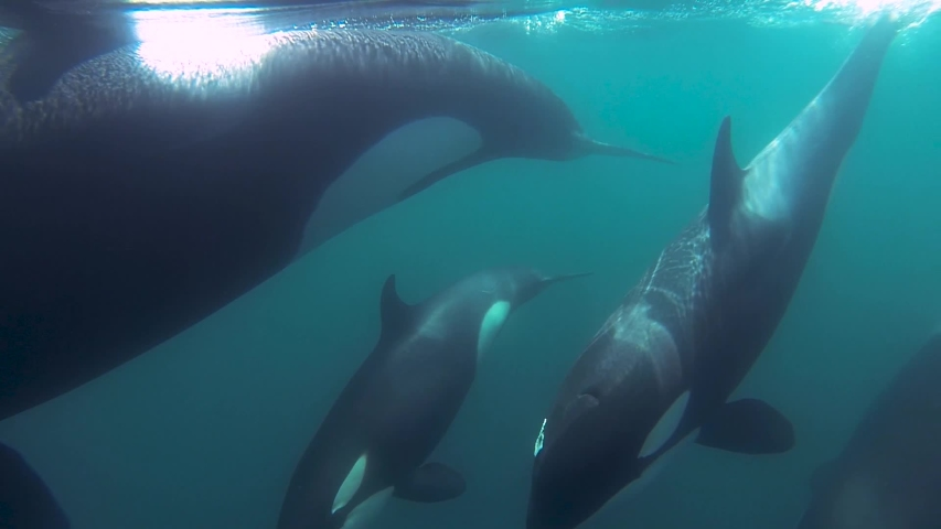 Group of Orcas killer whales swimming together close to the surface mirror effect slowmotion | Shutterstock HD Video #1029650384