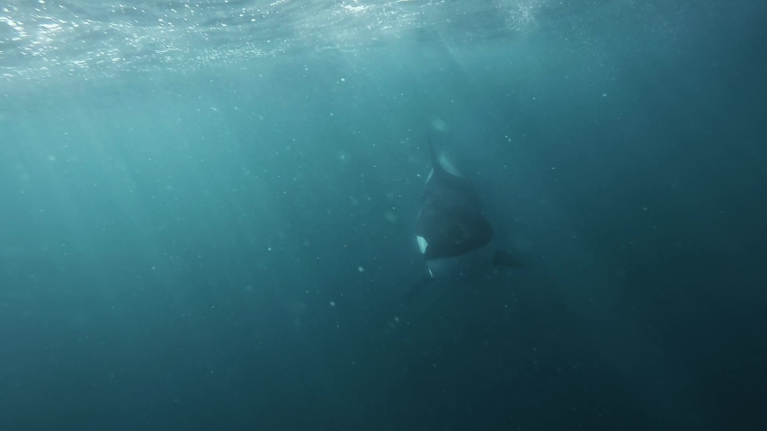 Orca coming right to the camera very close blowing bubbles underwater shot slowmotion | Shutterstock HD Video #1029650387