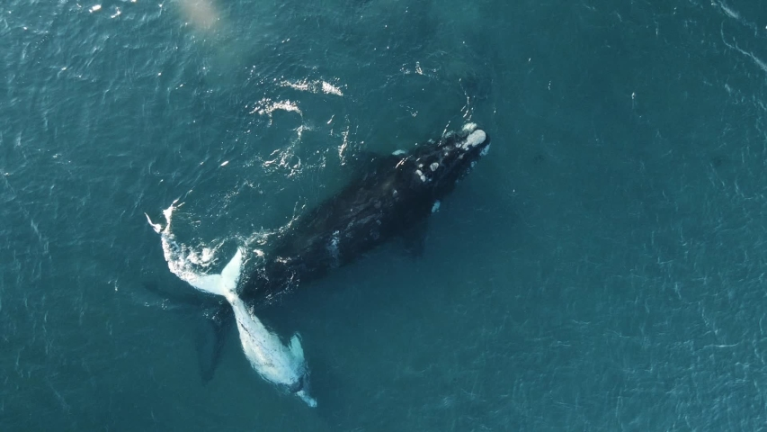 White calf of southern right whale with big mother drone topshoting up   Shutterstock HD Video #1029651692