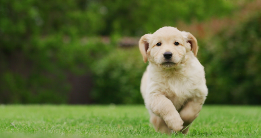 Slow motion of a playful puppy of Golden Retriever dog with a pedigree is running in a green park towards the camera.
