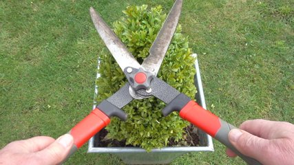 Close POV overhead shot of a man's hands using a pair of pruning shears to trim a small  box hedge, growing in a square pot on the lawn of a garden / yard.