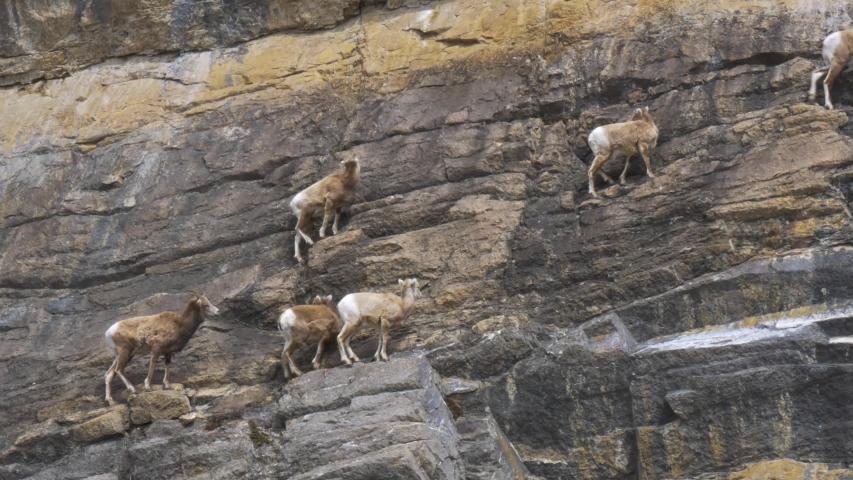 Herd of Mountain Goats Climbing a Cliff Face
