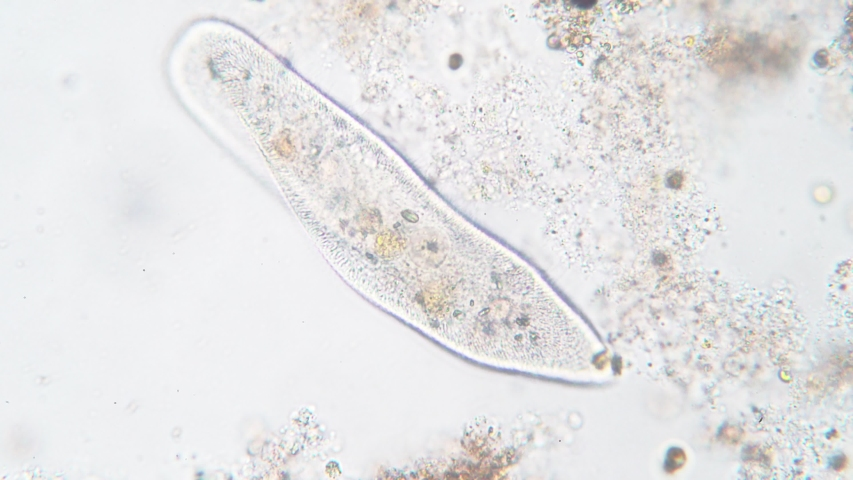 Paramecium caudatum is a genus of unicellular ciliated protozoan and Bacterium under the microscope | Shutterstock HD Video #1029804623
