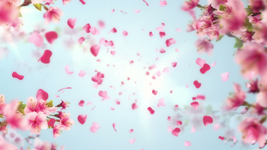 Animation of falling petals of sakura with flowers sakura waving on wind. Animation of seamless loop.