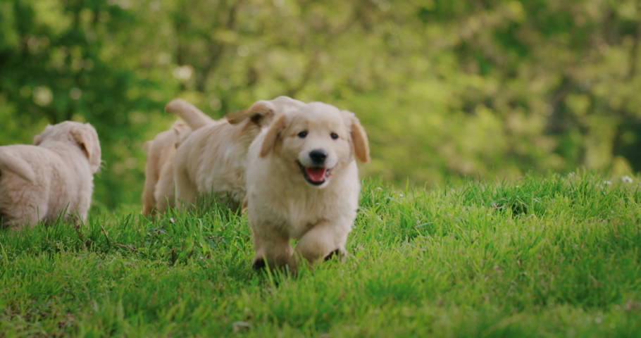 Slow motion of a group of playful puppies of pedigreed Golden Retriever dog are  running in a green park in a sunny day.