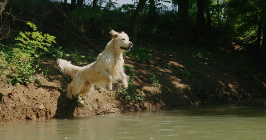 Slow motion of a playful pedigreed Golden Retriever dog is running and jumping in the lake in a sunny day.