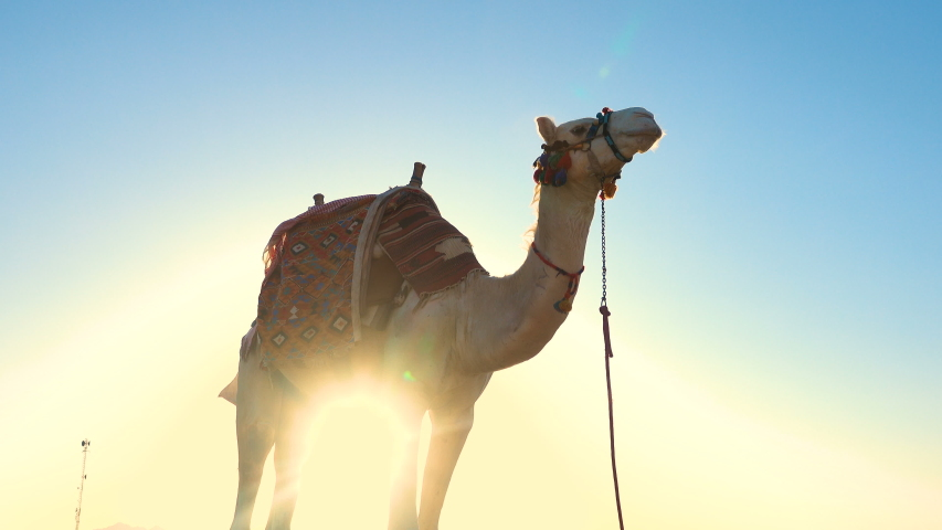 Beautiful white camel standing  close up. Sunset at the beach  | Shutterstock HD Video #1029908177