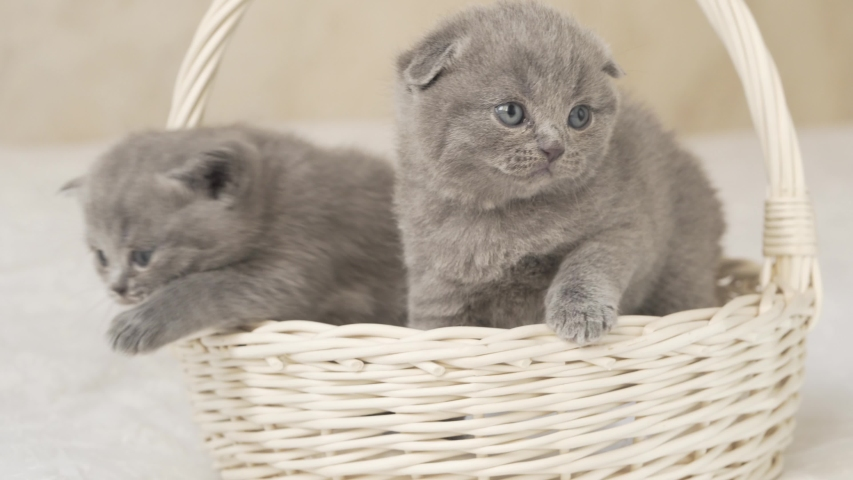 Two Cute Grey Coloured Scottish Fold Stock Footage Video 100 Royalty Free 1029943610 Shutterstock