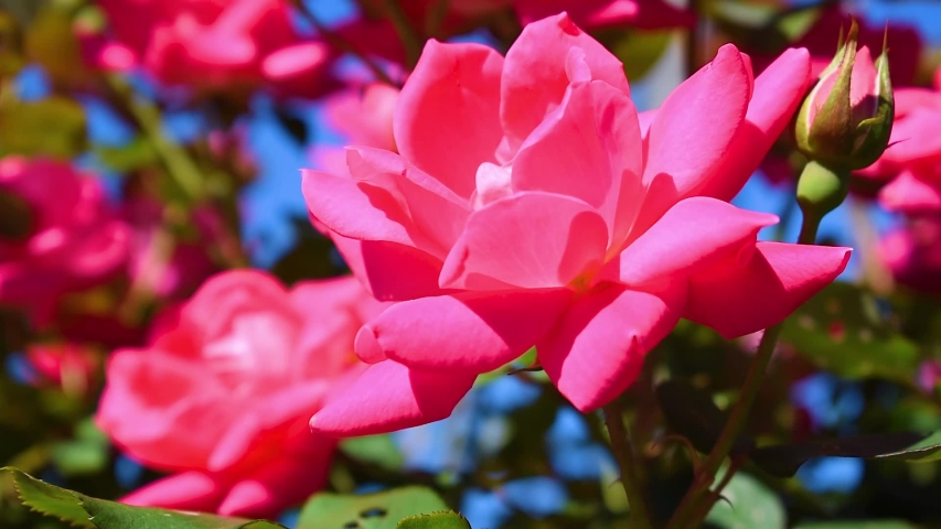 Red or pink roses in the garden | Shutterstock HD Video #1029959423
