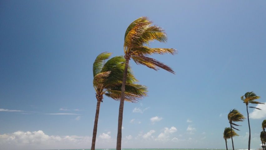 Group of two beautiful palm trees with the fronds blowing in the wind. The blue sky with white puffy clouds and another grout of palm trees are in the background