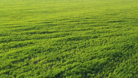 Video from a drone of a green field in the setting sun