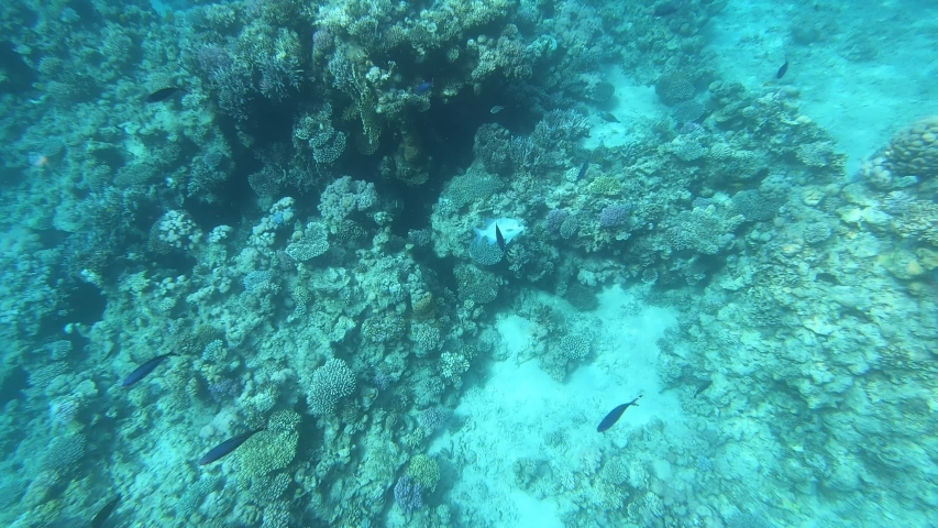 The fauna of the Red Sea. Many fish swim over a coral reef. Dynamic video of fish in clear blue water. Beautiful background of the underwater world. Snorkeling, active rest. #1030029512