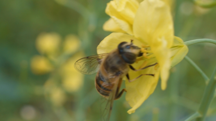 Bee is gathering and collecting honey on yellow flower. Close up, macro shot   Shutterstock HD Video #1030098035
