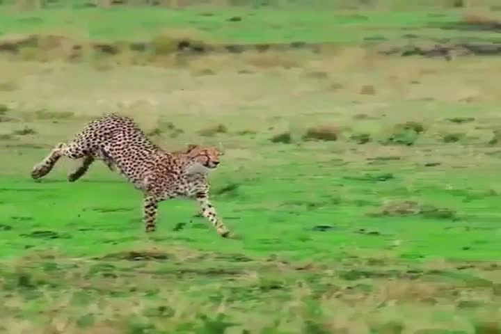 TANZANIA,NGORONGORO CRATER NATIONAL PARK, MARCH 15,2018,The leopard running high speed in purpose of catching antelope, this hunt don't succeed well.He runs 88.5 kilometres per hour or 50 miles per hr #1030194404