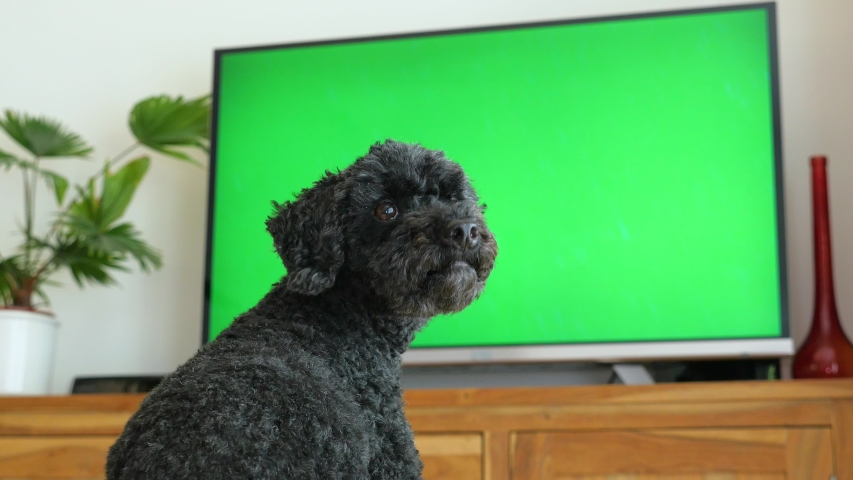 Dog (poodle) sitting in front of the TV, green screen