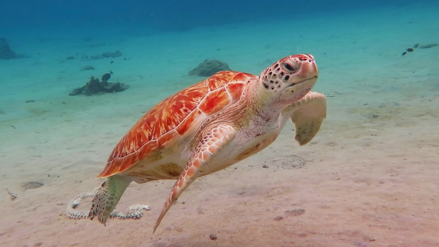 Swimming sea turtle and sandy seabed. Underwater video from scuba diving with the turtles. Wild sea animal in the tropical ocean. Marine life in the shallow water. | Shutterstock HD Video #1030231589