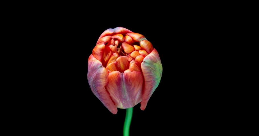 Timelapse of red tulip flower blooming on black background.4K. Alpha channel | Shutterstock HD Video #1030242500