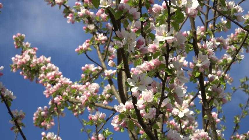 Flowering appletree branches in the garden. White and light pink fruit tree flowers in close-up. The beauty of magnificent spring nature.
