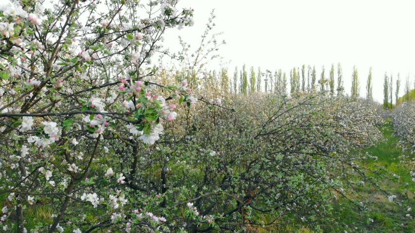 Aerial view of blooming trees in apple orchard, drone rises up