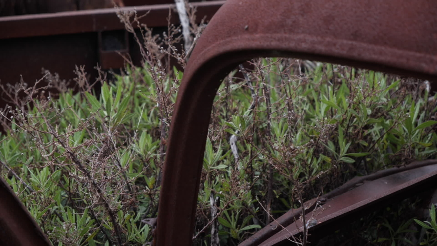 Abandoned, old and rusty trucks with flowers and plants growing out of them, the top and front of it