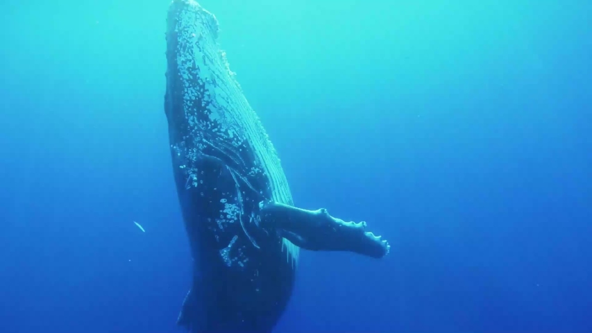 A large humpback whale swims up to the ocean surface, and then swims back down. | Shutterstock HD Video #1030393043