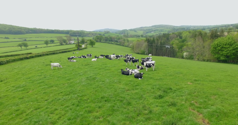 Flyover shot of cows grazing in field in north wales