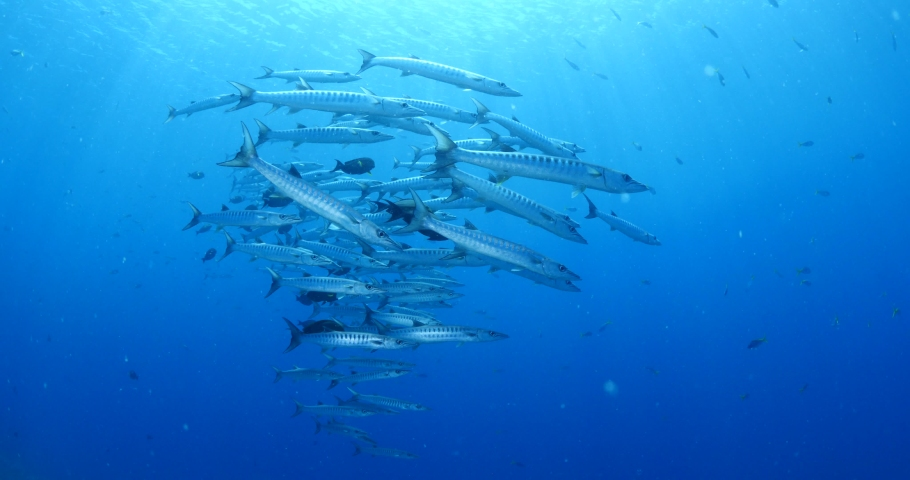 barracudas underwater schooling and swim other small fish schools scuba divers to see