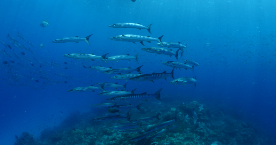 Barracudas underwater schooling and swim other small fish schools scuba divers to see | Shutterstock HD Video #1030542203