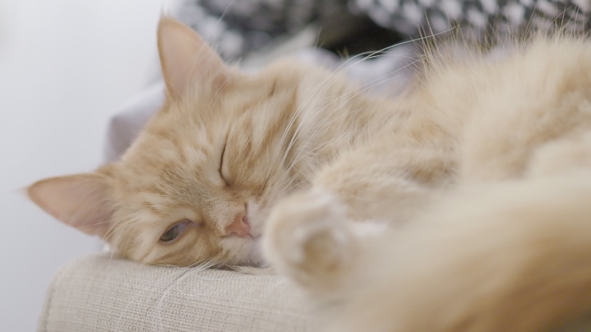 Cute ginger cat sleeping on chair. Fluffy pet dozing. Cozy home. Flat profile clip. | Shutterstock HD Video #1030563641