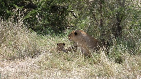 Lioness with newborn cub, other cubs are around. Serengeti, Tanzania
