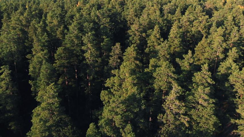 Coniferous forest top view aerial photography a dense pine forest of pines and firs at sunset, close up. Drone photography. Coniferous and deciduous trees. Panoramic view of the tops of the pine