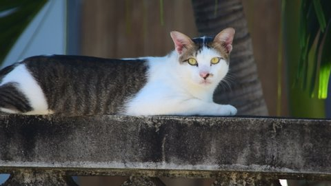 This beautiful cat hairs white, brown, gray. Sitting on the old walls in the shade of palm facing time, explore a peaceful, comfortable and relaxing.