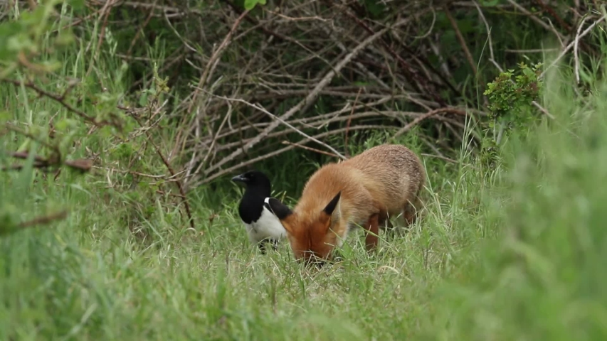 A female Red Foxes, Vulpes vulpes and her cute cub are feeding at the entrance to their den. When another adult Red Fox comes in to feed, a scuffle takes place as the cub is  protecting its food. | Shutterstock HD Video #1030725368
