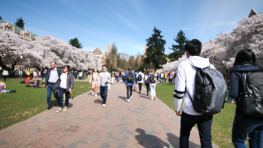 Seattle, Washington/USA - April 1, 2019: University of Washington Campus People Enjoying Japanese Cherry Blossoms Trees In Bloom UW Quad