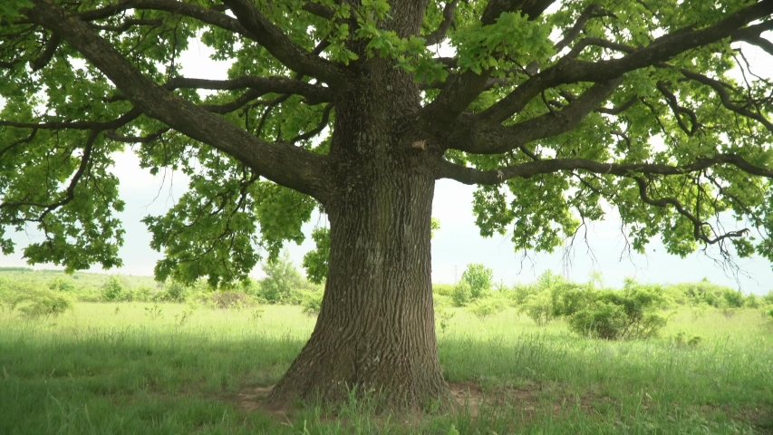Lush oak crown inside.A lone oak in a field. Branches and oak leaves close-up.Green oak leaves on the branches. | Shutterstock HD Video #1030796531