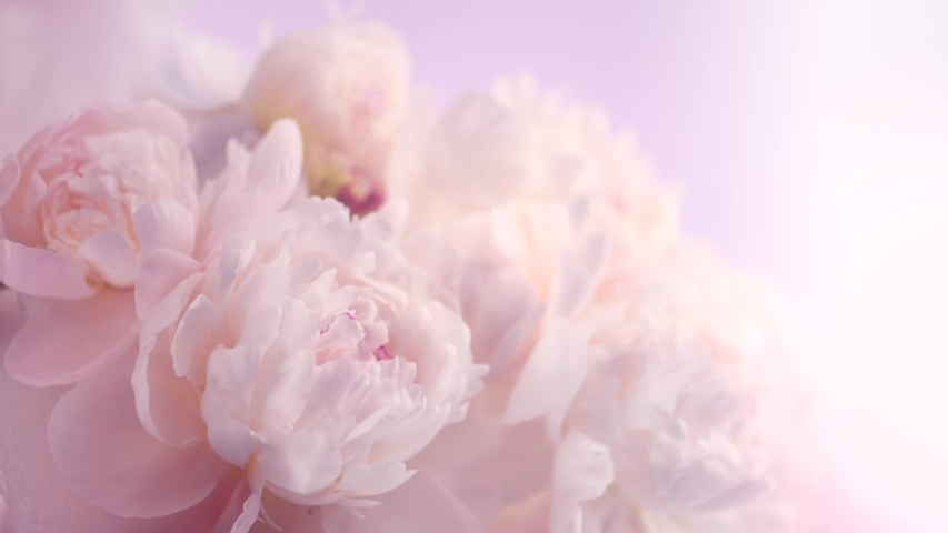 Beautiful pink peony bouquet open on pink background. Time lapse of Blooming peony or roses flowers opening close-up. Wedding backdrop, Valentine's Day concept. Birthday bunch. Flower closeup. 4K UHD