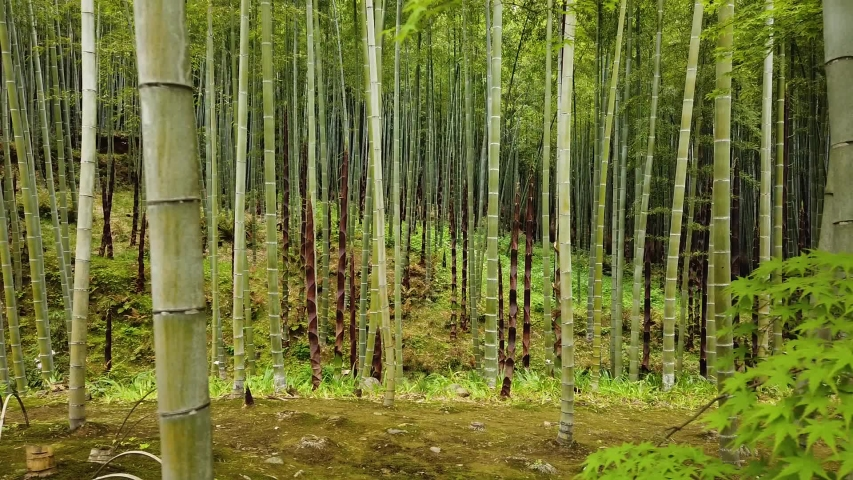 Beautiful Bamboo Forest Some Bamboos Stock Footage Video 100