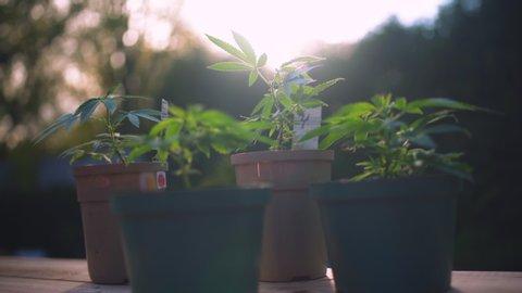 Four potted marijuana plants outdoors
