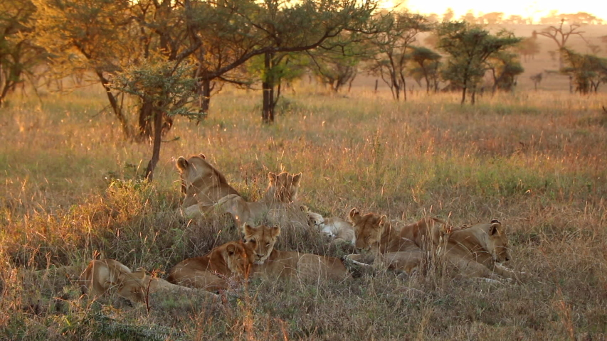 A Pride of Lionesses Relaxing Together in Serengeti National Park During Sunset   Shutterstock HD Video #1031093249