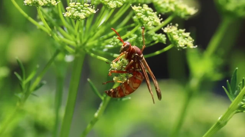 Close up a red and yellow wasp crawling on a flower | Shutterstock HD Video #1031175059