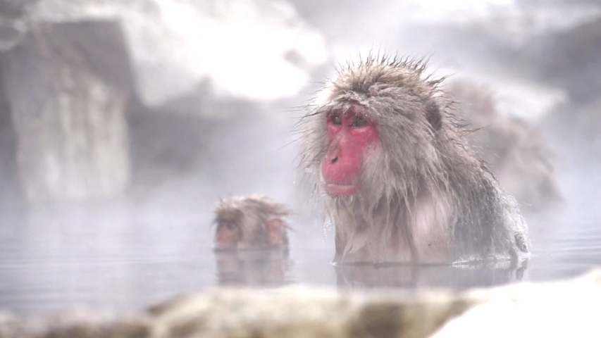 Japanese Snow Monkey or japanese snow macaque monkeys, The wild native japan monkey bathing in the onsen hot spring in Jigokudani Park in Nagano, Japan. In the winter