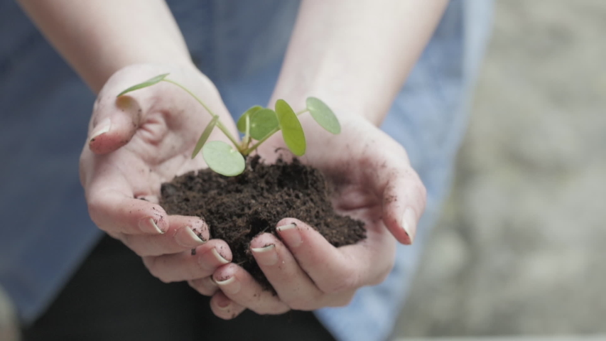 Female hands holding a young plant with soil. Nature, growth, caring for the environment concept.  Royalty-Free Stock Footage #1031260337