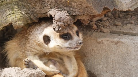 a meerkat takes a nap and falls asleep very quickly
